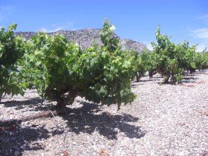 Wijngaard op leistenen bodem