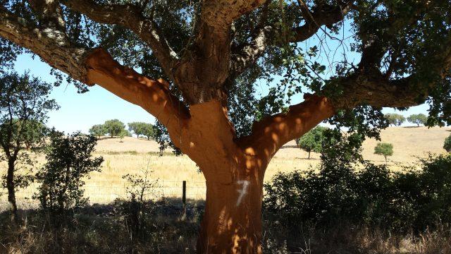 kurkenboom