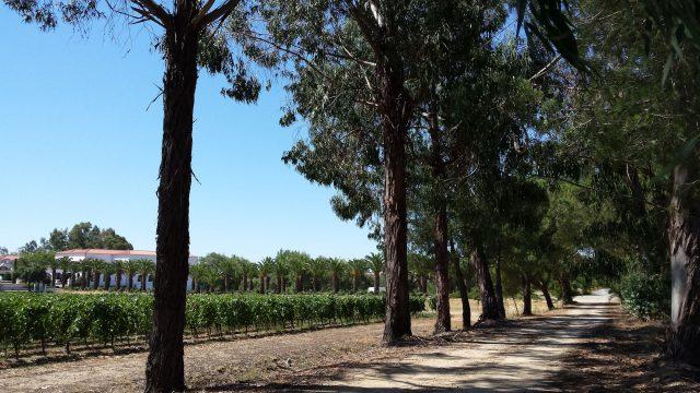 laan met eucaplyptusbomen