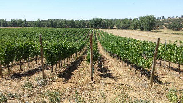 wijngaard verdelho